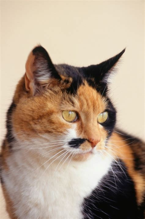 Calico Breed Information and Photos | ThriftyFun
