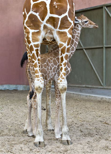 Behind The Thrills | Baby Giraffe to be newest member of