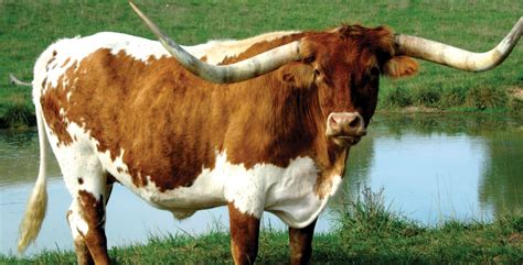 6 Longhorn Cattle HD Wallpapers | Background Images
